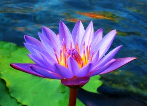 Lotus_Flower_by_Starfire_013